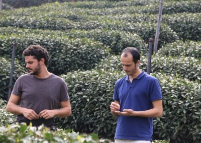 Caio e João, fundadores da Chá Yê!, observando a colheita de chás brancos em Fuding, Fujian