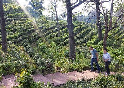 Plantação de chás em Qimen, Anhui, China