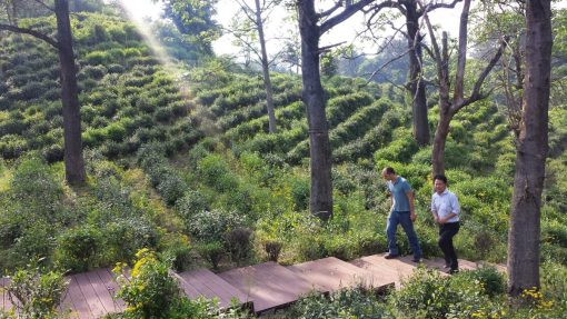 João, fundador da Chá Yê!, visitando arbustos de chá em Qimen