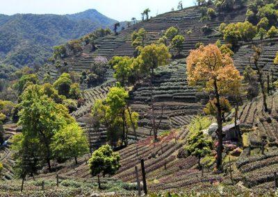 Plantação de chá Long Jing em Hangzhou, Zhejiang