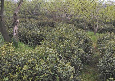 Arbustos de chá em Tai Ping, Anhui