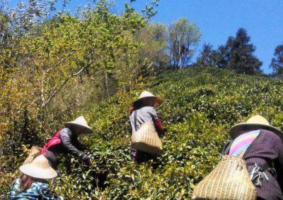 Colhedoras de chá em Anji, Zhejiang