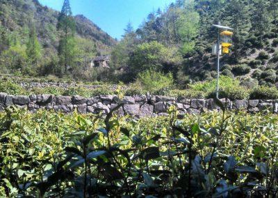 Em Anji, Zhejiang, em busca do arbusto mãe An Ji Bai Cha