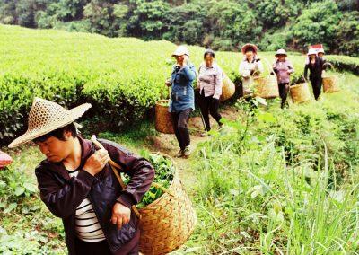 Colheita de chás oolongs rochosos em Wuyi Shan